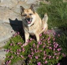 Tahoe Culture Shyra Dog