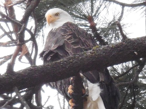 Bald Eagle at Pope Marsh Dec 15