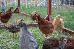 Shaw Chickens