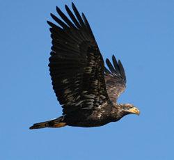 Bald Eagle TINS